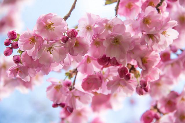 Cherry Blossoms - Susanne Nilsson